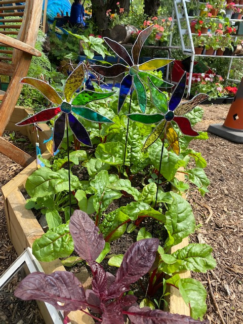 A raised garden bed with rainbow chard and stained glass flowers